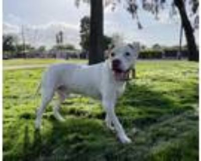 Adopt Griswold a American Staffordshire Terrier, Pit Bull Terrier