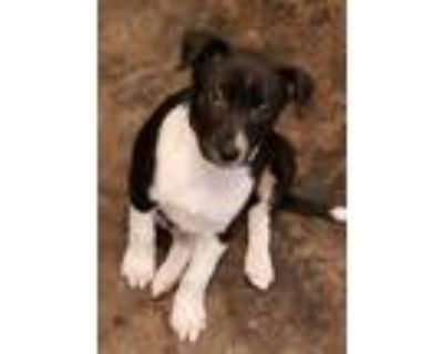 Adopt Armani a Black Labrador Retriever / Mixed dog in Carrollton, TX (32040757)