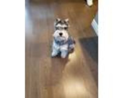 Adopt Milo a Black - with Gray or Silver Schnauzer (Miniature) / Mixed dog in