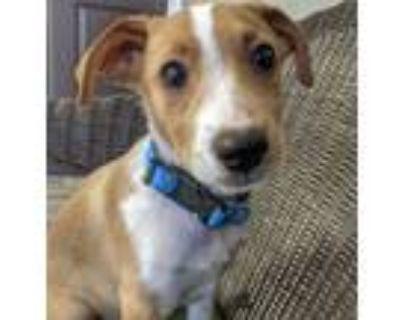 Adopt Kato a Collie, Labrador Retriever