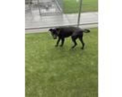 Adopt Herschel a Black Labrador Retriever / Mixed dog in Fort Worth
