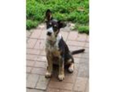 Adopt CeeCee a Australian Cattle Dog / Blue Heeler