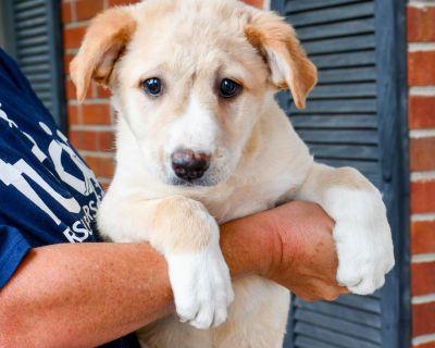 Klondike 11504 - Cattle Dog, Australian (Red Heeler)/Mix - Puppy Male