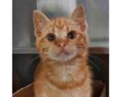 Adopt Larry a Orange or Red Domestic Shorthair cat in Springfield, IL (31135514)