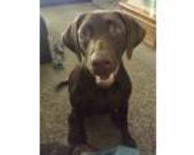 Adopt Willow a Brown/Chocolate Catahoula Leopard Dog / Labrador Retriever /