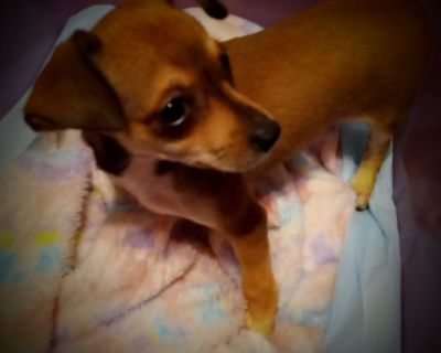 11 week old female chihuahua puppy