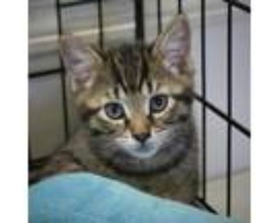 Adopt Wakka a Brown or Chocolate Domestic Shorthair / Mixed cat in Buffalo