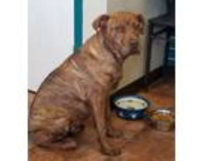 Adopt Dallas a Brindle - with White Shar Pei / Mixed dog in Amarillo