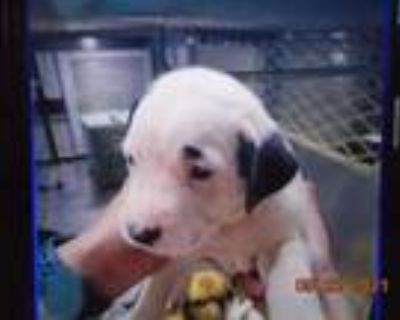 Adopt 47823885 a White American Pit Bull Terrier / Mixed dog in Shreveport