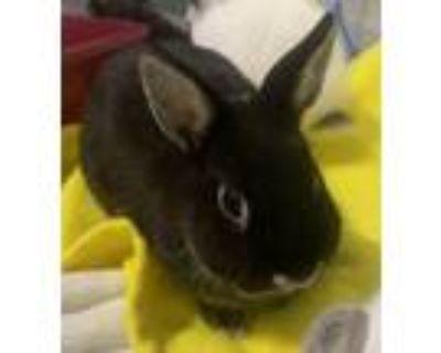 Adopt Drogo a Netherland Dwarf / Mixed rabbit in Jasper, AL (31457655)