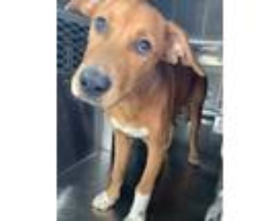 Adopt 48225582 a Brown/Chocolate Labrador Retriever / Mixed dog in Fort Worth