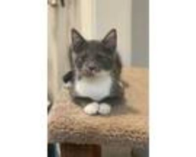 Adopt Curtis a Gray or Blue Domestic Shorthair / Domestic Shorthair / Mixed cat