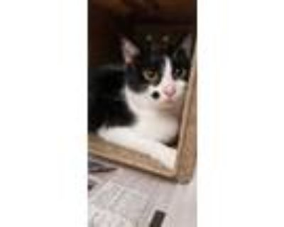 Adopt Spotsy a White Domestic Shorthair / Domestic Shorthair / Mixed cat in