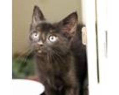 Adopt Don Pedro a All Black Domestic Shorthair / Domestic Shorthair / Mixed cat