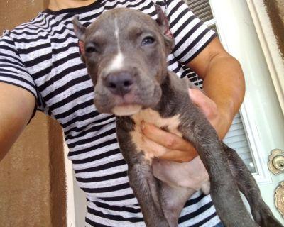 pitbull blue puppies in el paso texas