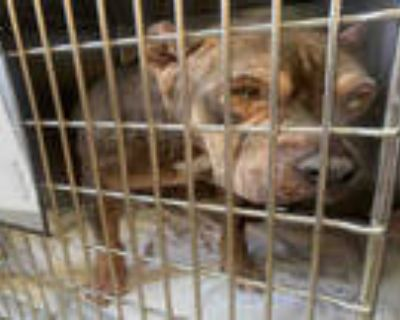 Adopt EGYPT a Brown/Chocolate - with White American Pit Bull Terrier / Mixed dog