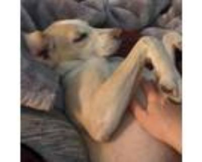 Adopt Elaine a Tan/Yellow/Fawn Hound (Unknown Type) / Mixed Breed (Medium) /
