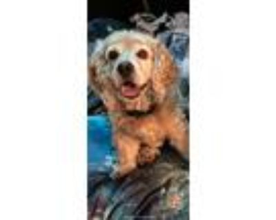 Adopt Driver a Tan/Yellow/Fawn Cocker Spaniel / Mixed dog in Cape Coral