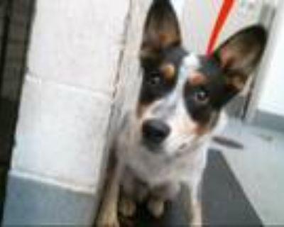 Adopt PETER a Australian Cattle Dog / Blue Heeler, Mixed Breed