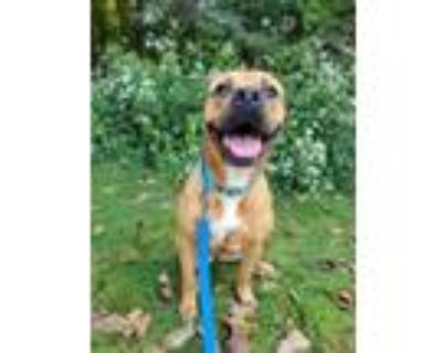 Adopt Hayden a Rottweiler / Boxer / Mixed dog in Oakland, NJ (31951127)