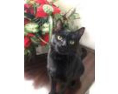 Adopt Momma (In Foster) a Domestic Short Hair