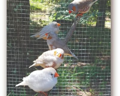 Diamond Doves, Finches, Canaries, and Parakeets
