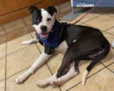 Adopt PATRICK a Black - with White American Pit Bull Terrier / Mixed dog in