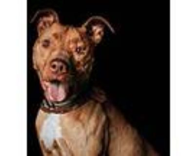 Boden, Pit Bull Terrier For Adoption In Los Angeles, California