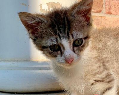 Sunny - Domestic Longhair - Kitten Male