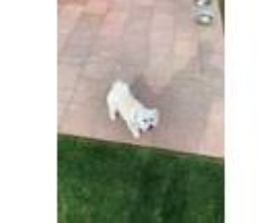 Adopt Charlie a White Schnauzer (Standard) / Poodle (Standard) / Mixed dog in