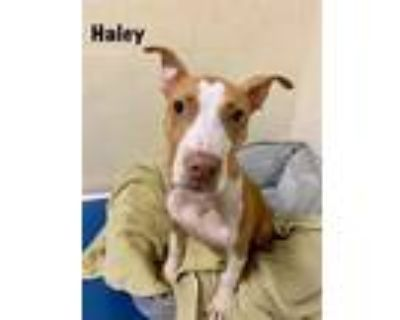 Adopt HALEY a Red/Golden/Orange/Chestnut - with White American Pit Bull Terrier