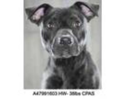 Adopt Blackout a Black American Pit Bull Terrier / Mixed dog in Shreveport
