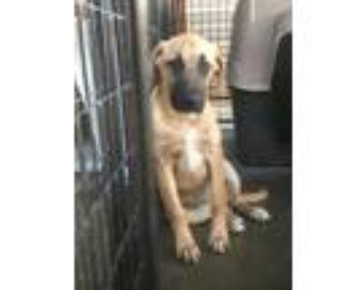 Adopt Gigi a Yellow Labrador Retriever