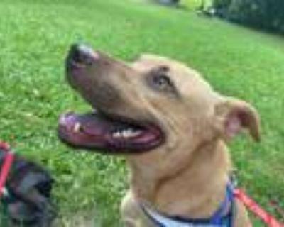 Adopt BOOMER a Labrador Retriever, Mixed Breed