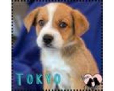 Adopt Tokyo a Red/Golden/Orange/Chestnut - with White Golden Retriever / St.