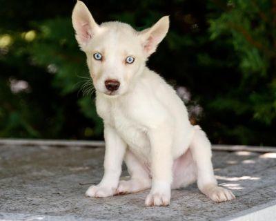 Casey 11058 - Mixed Breed (Medium) - Puppy Male
