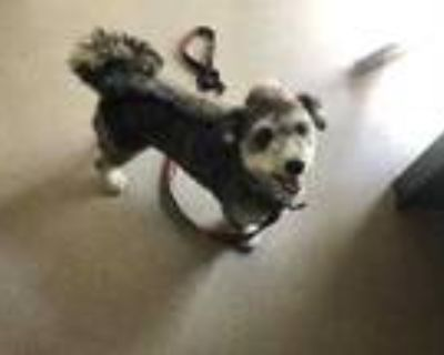 Adopt BLAZE a Gray/Silver/Salt & Pepper - with White Poodle (Toy or Tea Cup) /