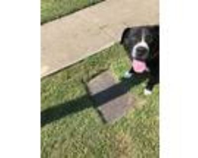 Adopt Oscar a Black American Pit Bull Terrier / Mixed dog in Fort Worth