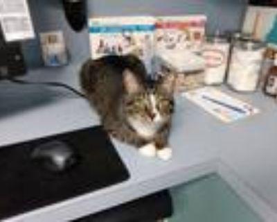 Adopt Mittens a Gray, Blue or Silver Tabby American Shorthair / Mixed (medium
