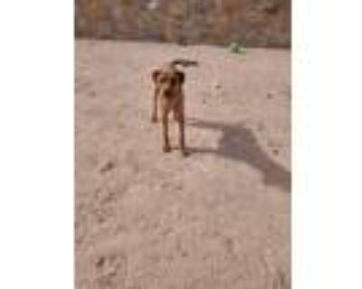 Adopt Kayne a Brown/Chocolate Bull Terrier / Mixed dog in El Paso, TX (31259828)