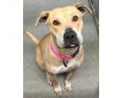 Adopt 47531481 a Tan/Yellow/Fawn American Pit Bull Terrier / Labrador Retriever
