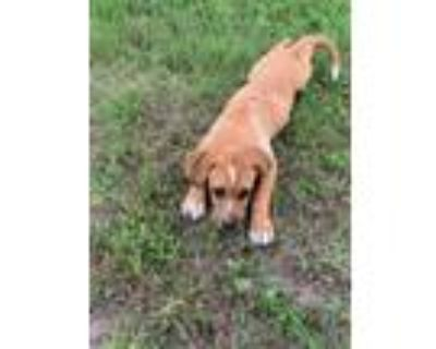 Adopt Marvelous Maxwell a Hound, Cattle Dog