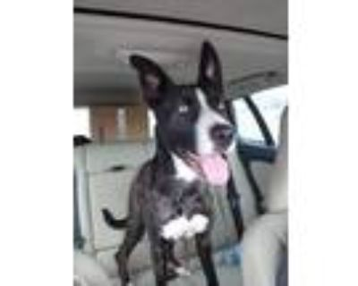 Adopt Kari a Australian Cattle Dog / Blue Heeler, Boxer
