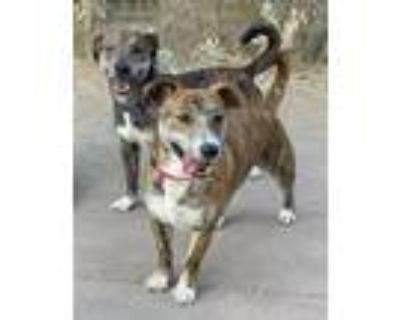 Adopt Rollie a Terrier, Mixed Breed