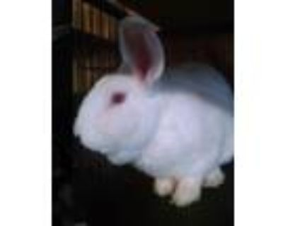 Adopt Jynx a Albino or Red-Eyed White Californian / Mixed (short coat) rabbit in
