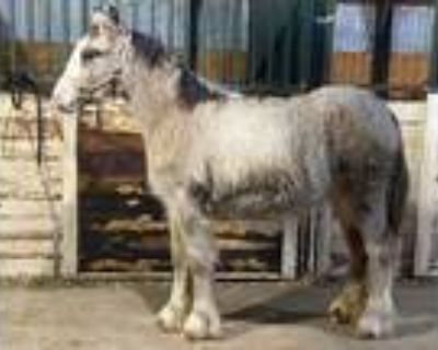RARE Dilute Buckskin Spotted Gypsy Colt