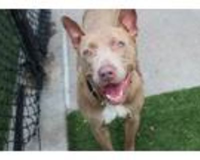 Adopt HAMMER a Merle American Pit Bull Terrier / Mixed dog in Dallas