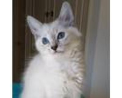 Adopt Delilah a Tiger Striped Siamese / Mixed cat in Long Beach, CA (31605365)