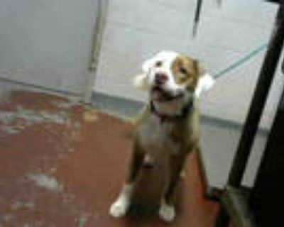 Adopt PATRICIA a Brown/Chocolate - with White American Pit Bull Terrier / Mixed