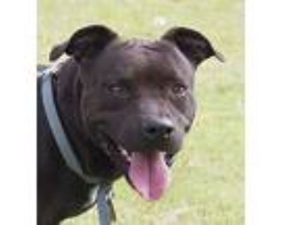 Blue And Nala, American Pit Bull Terrier For Adoption In Norman, Oklahoma
